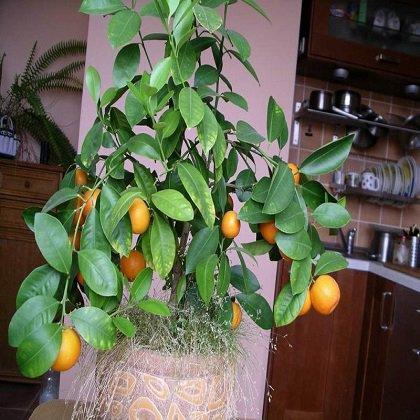 Как прищипывать помидоры; как вырастить помидоры в домашних условиях?