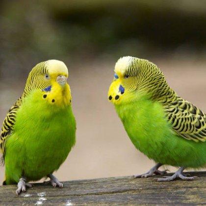 Как выбрать имя для волнистого попугая?