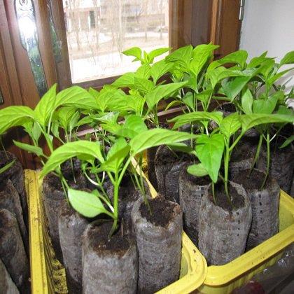 Как вырастить перец дома в горшочках?