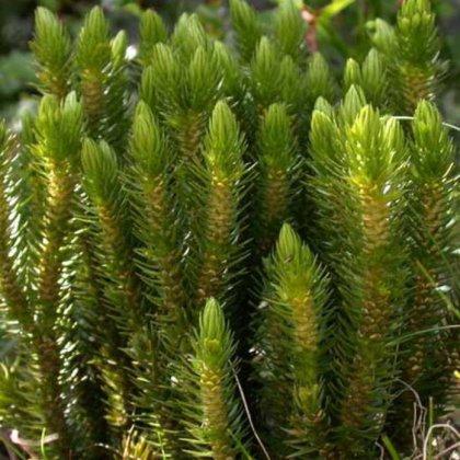 Травы, вызывающие рвоту
