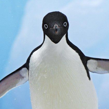 Знаете ли вы, как говорят пингвины?