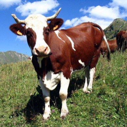 Как лечить мастит у коровы народными средствами?