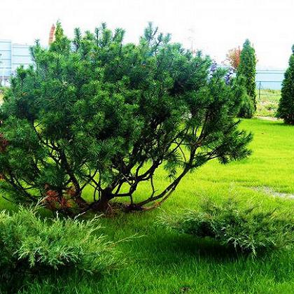деревья для влажных участков мастерские ПАРМ ПРМ