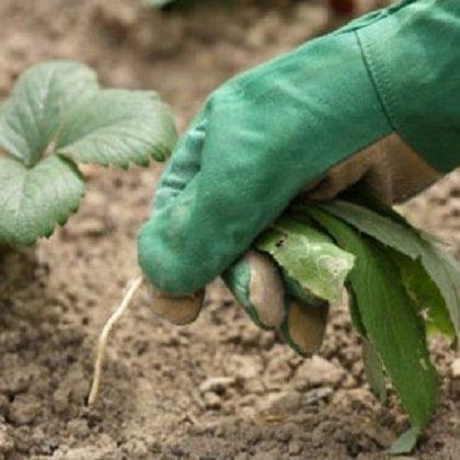 Как вывести хрен с огорода?