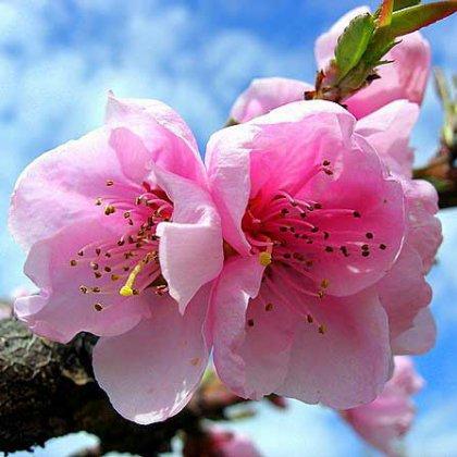 Когда и как цветёт персик?
