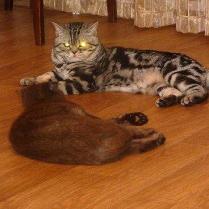 Первая вязка кошки, кота
