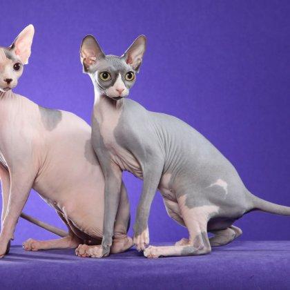 Вязка кошек сфинкс