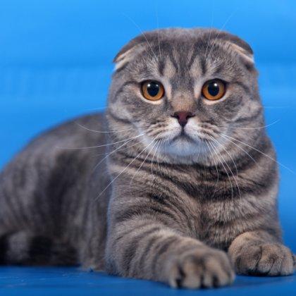 Вязка шотландских вислоухих кошек?