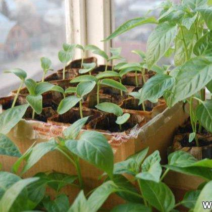 Как посадить рассаду перца на балконе?