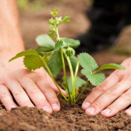 Как ухаживать за садовой клубникой?