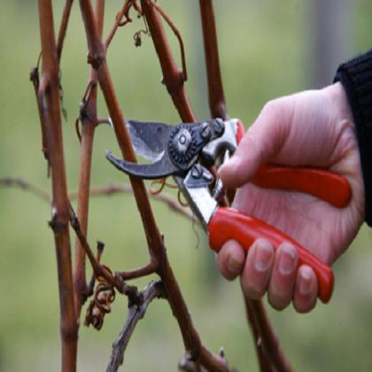 Как правильно обрезать виноград весной?