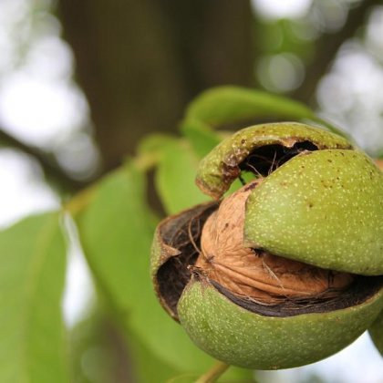 Как собирать орехи: сбор урожая грецкого ореха