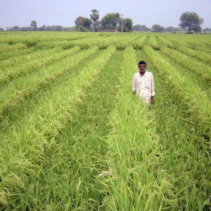 Как выращивают рис ?