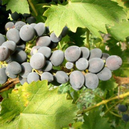 Как удалить пятна от винограда?