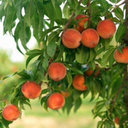 Как правильно посадить персик на участке?
