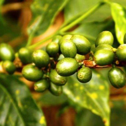 Цена зеленого кофе