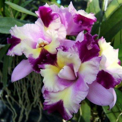 Выясняем, как выращивать орхидеи из Тайланда