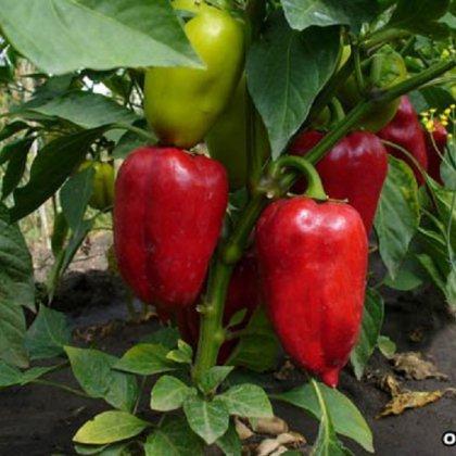 Как вырастить перец из семян: факты и заблуждения