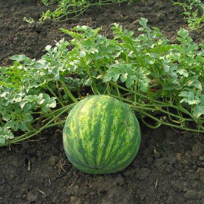 Как вырастить арбузы в Сибири?