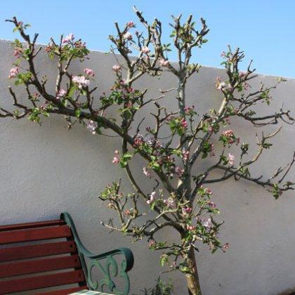Как и чем опрыскать яблони весной от вредителей?