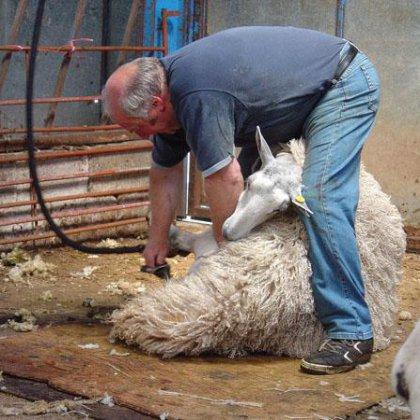 Как стричь овец: технология стрижки