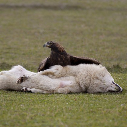 Как охотятся орлы: орел против волка