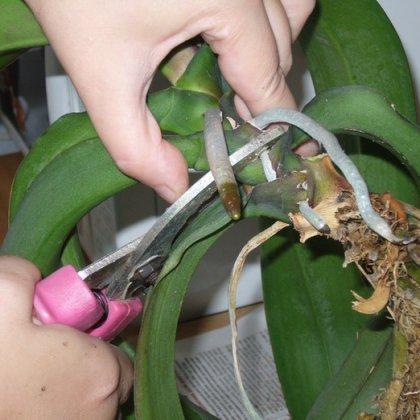 Как размножить орхидею Фаленопсис на подоконнике?