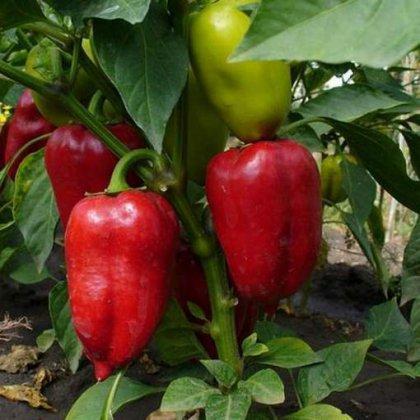 Как сажать болгарский перец: несколько важных тонкостей