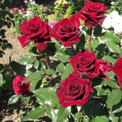 Как ухаживать за розами в саду?