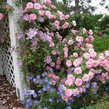 Лучшие сорта роз для дома