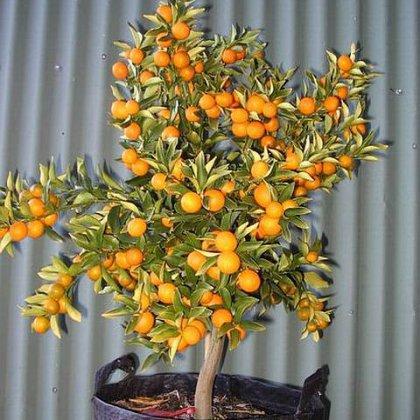 Как вырастить мандарин на подоконнике: начинающим садоводам