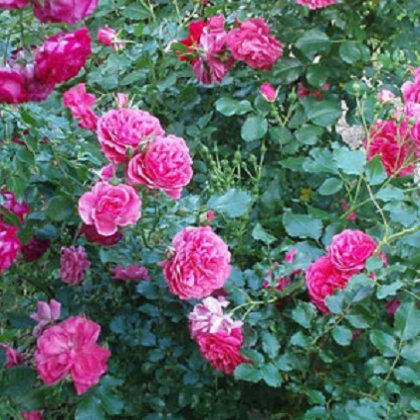 Как вырастить розу из срезанного цветка?