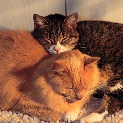 Как скрещивать кошек?