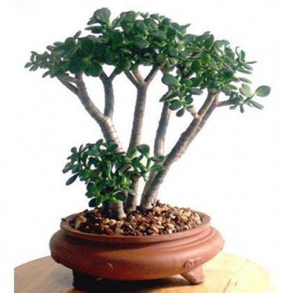 Как правильно выращивать денежное дерево