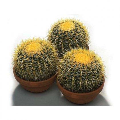 Как определить вид кактуса?