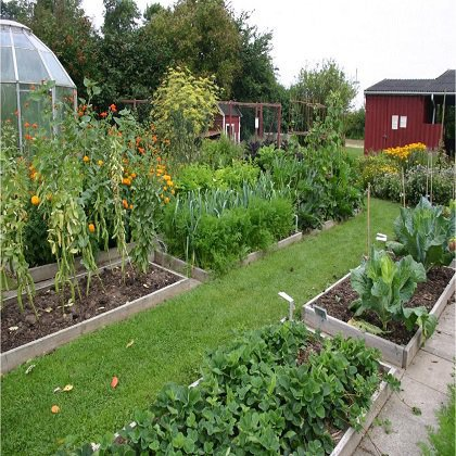 Как правильно посадить сельдерей в огороде?