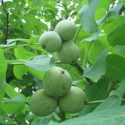 Как вырастить грецкий орех из ореха?