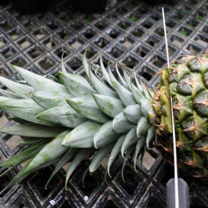 Как вырастить ананас из верхушки в домашних условиях?