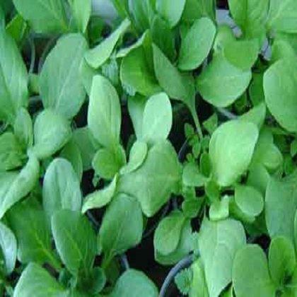 Как вырастить ампельную петунию?