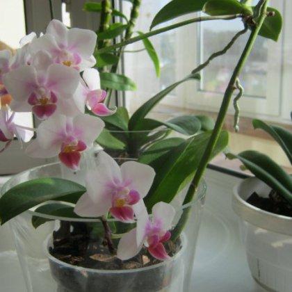 Как отсаживать деток орхидеи: простые приёмы
