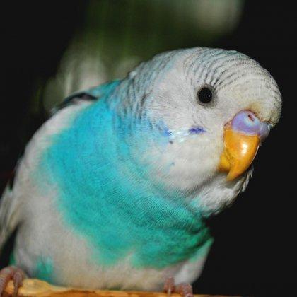 Как назвать попугайчика-мальчика: необычные клички