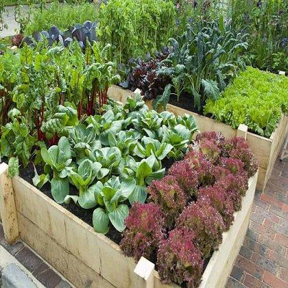 Васильки садовые, выращивание и уход 54