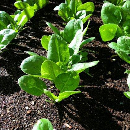Как посадить капусту?