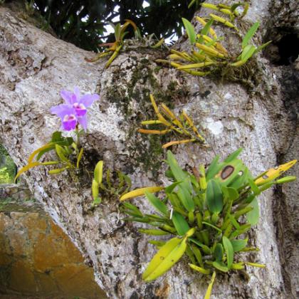 Как растут орхидеи в природе?