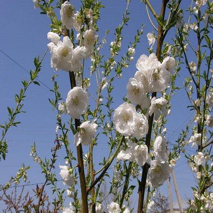 Персик: как поливать при цветении?