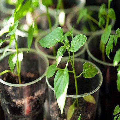 Как посадить рассаду петуний правильно?