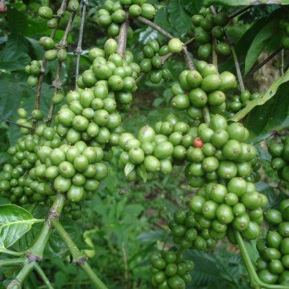 Зеленый кофе в Чите: предложение, от которого сложно отказаться!