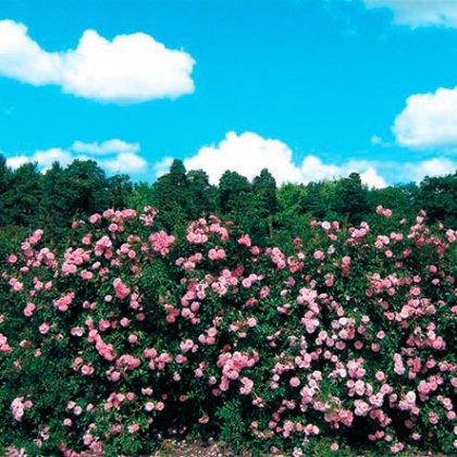Как сделать живую изгородь из роз?