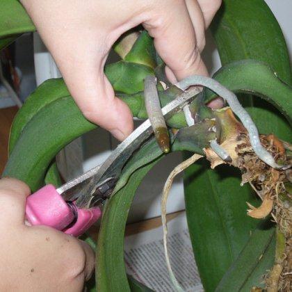 Как взять отросток у орхидеи: инструкция