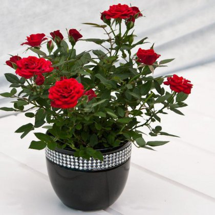 Как вырастить розу в домашних условиях?